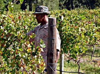 grape worker