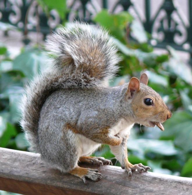 Cheeky Grey Squirrel