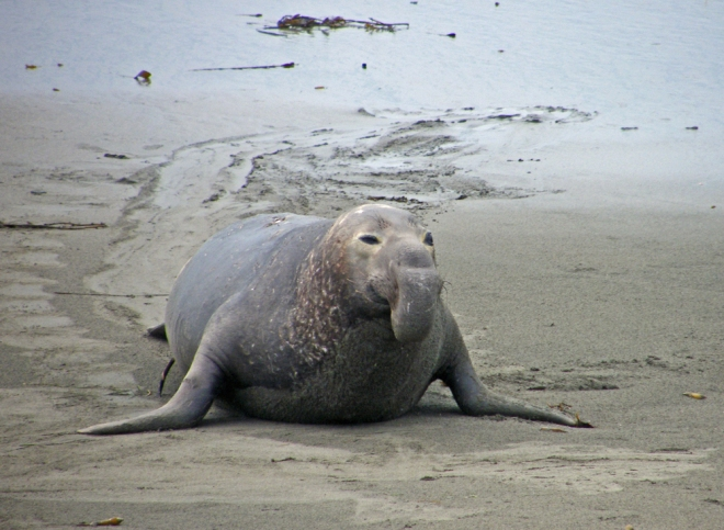 elephant seal copy