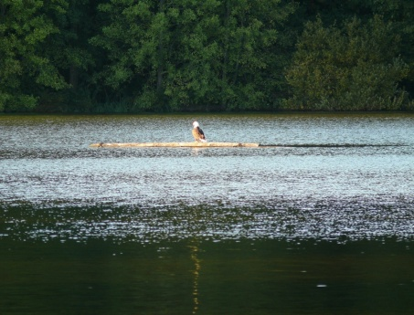 bald eagle on lost lagoon
