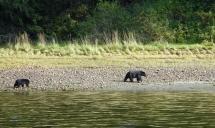 bears along the shore