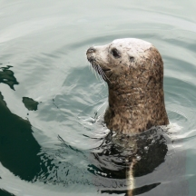 harbour seal (2)