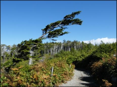 stunted tree