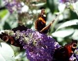 Buddlieas and Butterflies