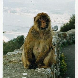 Barbary Ape