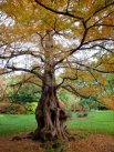 November - Autumn Tree in RHS Wisley Gardens