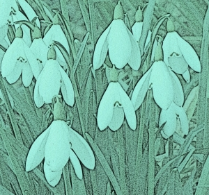 snowdrops in pencil 2