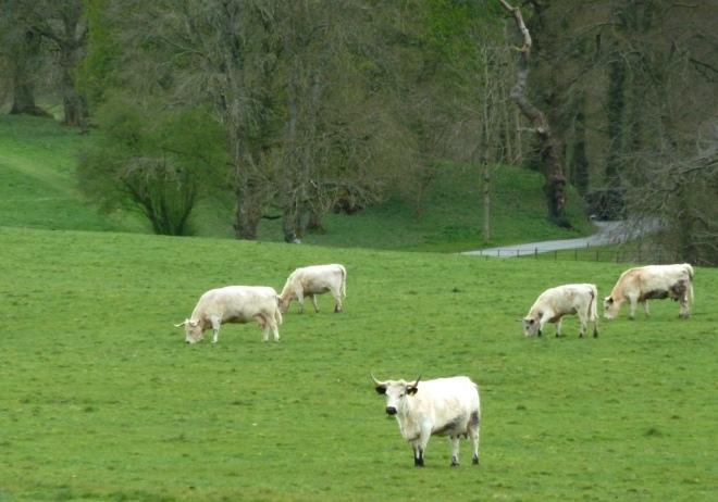 Rare White Park Cattle