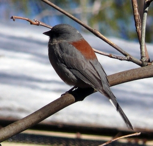 Black Eyed Junco