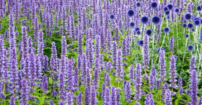 Russian Sage (and Globe Thistle)