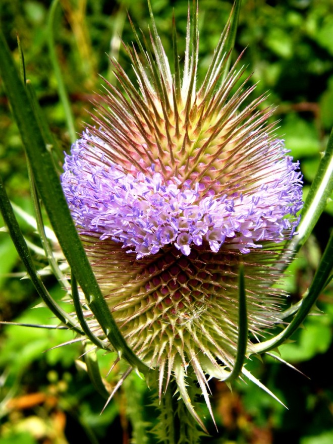 Thistle flower from the side