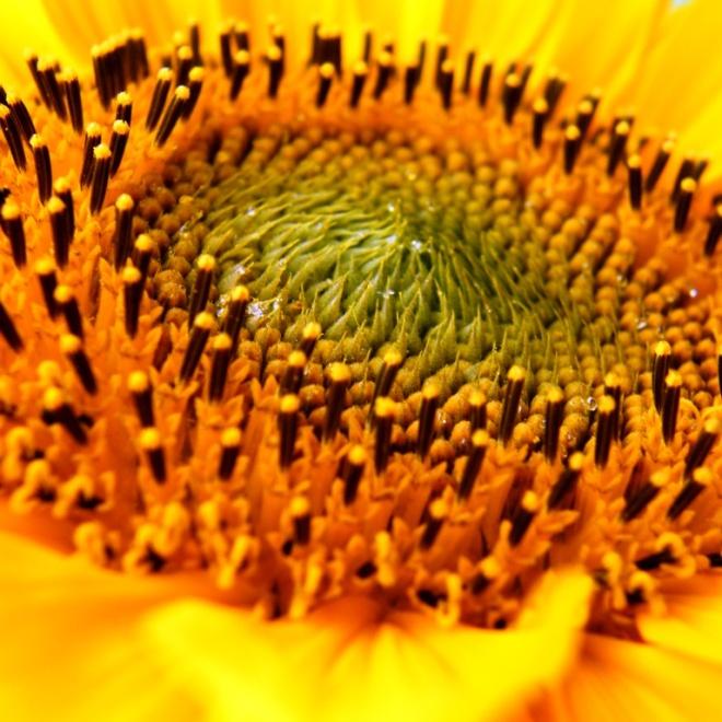 sunflower macro