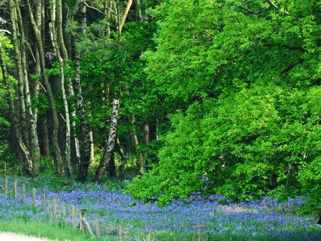 bluebells - Copy