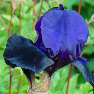 Ink blue bearded-iris