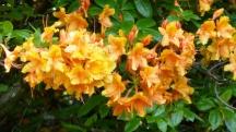 More Glorious Azaleas