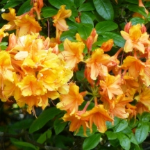 More Glorious Azaleas