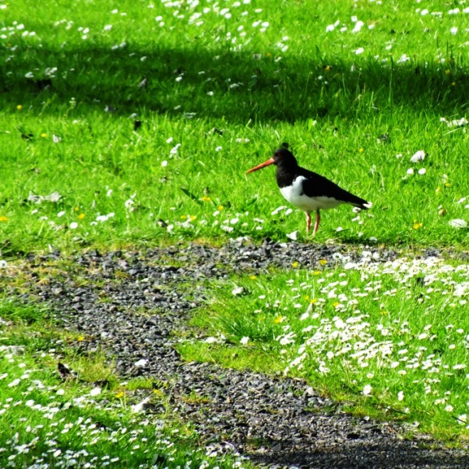 oyster catcher (2)