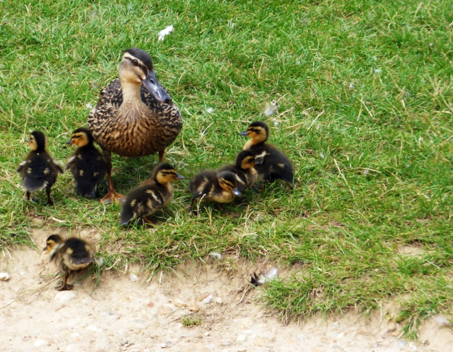 ducklings-3