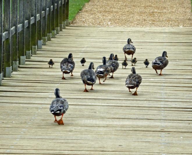 ducklings-4