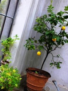 And a lemon tree