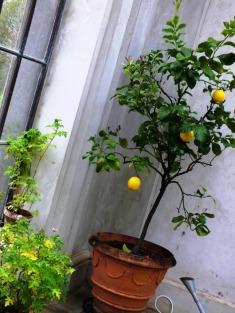 And a lemon tree