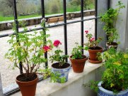 A windowsill of geraniums