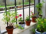 A windowsill of geraniums