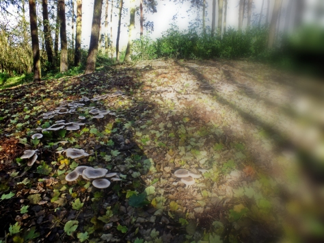 fairy ring (D) copy