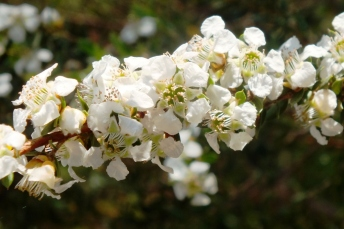 Blossom - similar to our Blackthorn