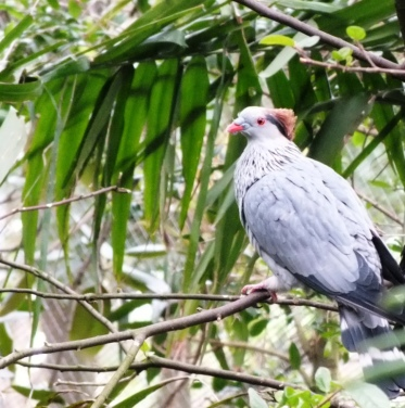 Top-Knot pigeon