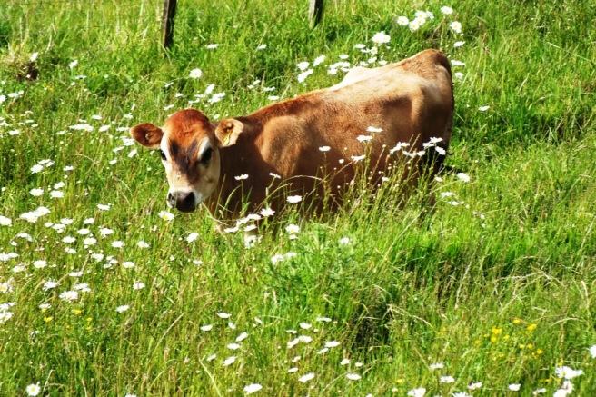 dairy life
