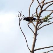 Tui Bird