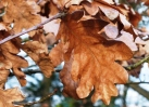 Copper leaves (Jan)