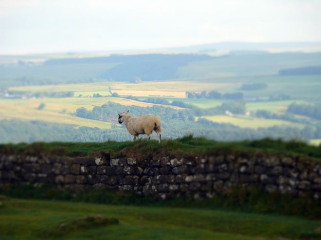 sheep on wall