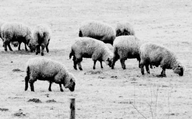 Sheep grazing (Feb)
