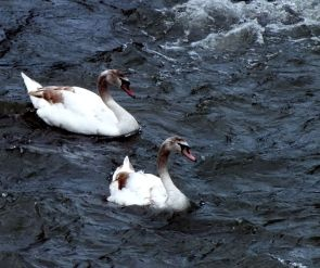 My Swans! (Feb)