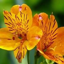 Peruvian Lily (Alstroemeria)