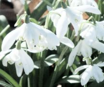 Snowdrops in silk