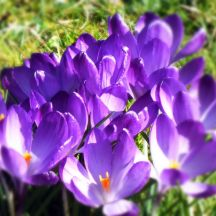 Crocuses (March)