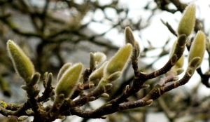 Budding Magnolia Tree