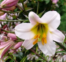 Lily with yellow-orange stamens