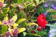 Skimmia flowering (April)