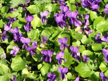 Wild violets (April)