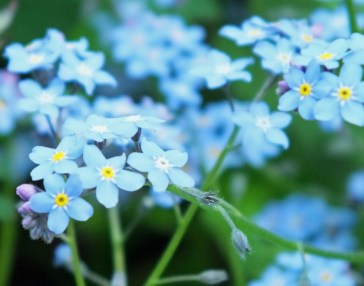Forget-me-not (May)