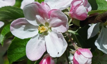 Crab-apple blossom?