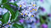 Solanum (May)