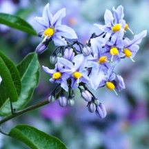 Solanum (May)