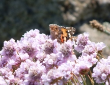 Small tortoiseshell feeding on thrift