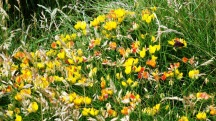 Birdsfoot trefoil and Six-spot Burnet Moth