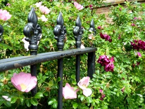 Shrub roses in the churchyard